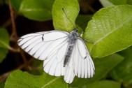 familia-libellulidae-orden-odonata
