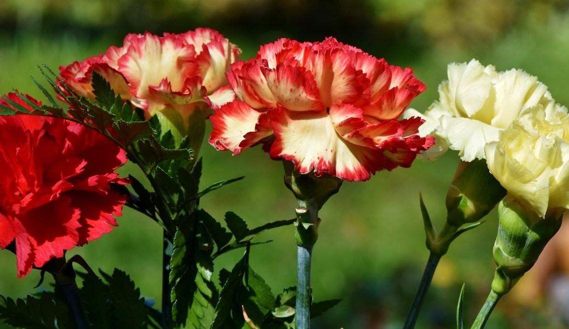 Rajado del cáliz en clavel (Dianthus carophillus L.) | Metroflor