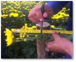 flores-amarillas-1