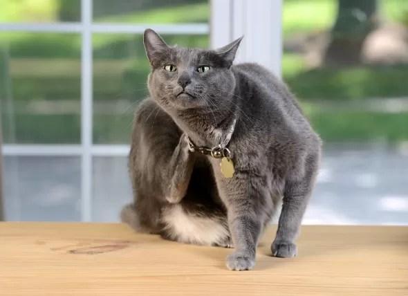 Jak se zbavit blech u kočky