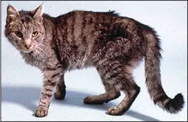 kachektická kočka s pemranentní říjí
