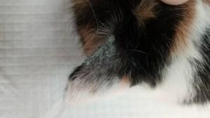 plíseň na uchu kočky