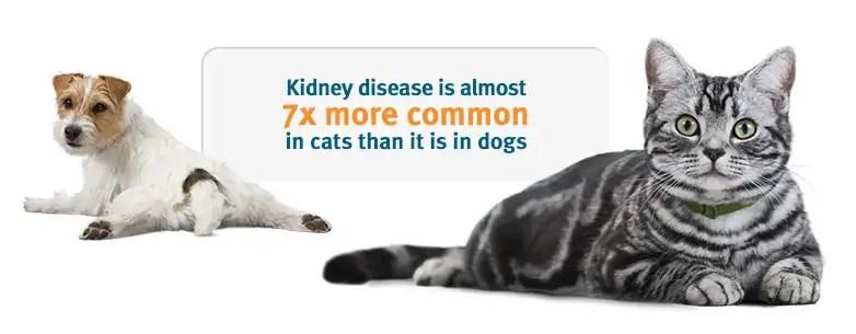chronické selhání ledvin u kočky