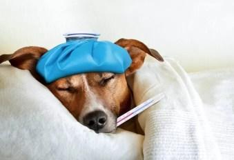 horečka u psů