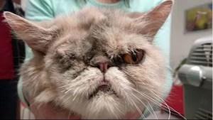 perská kočka po enukleaci