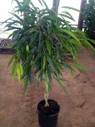 Ficus Ali Braid