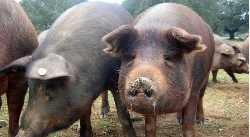 schwein-iberico