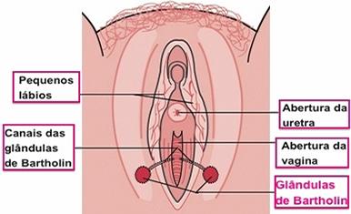 glandulas-de-bartolin