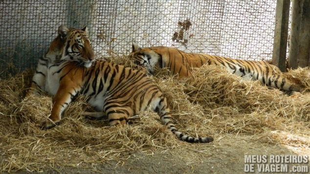 Tigres descansando na jaula