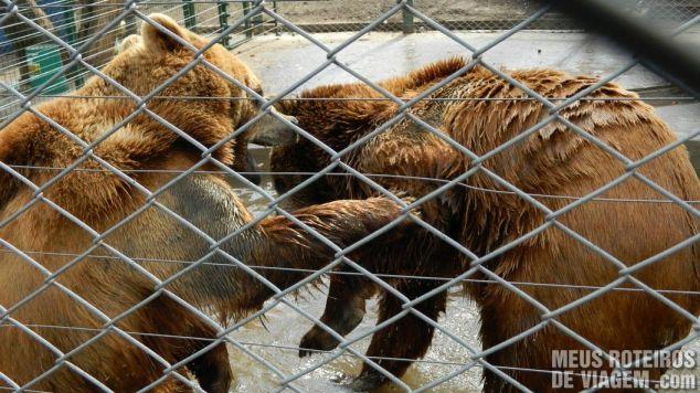 Ursos brigando