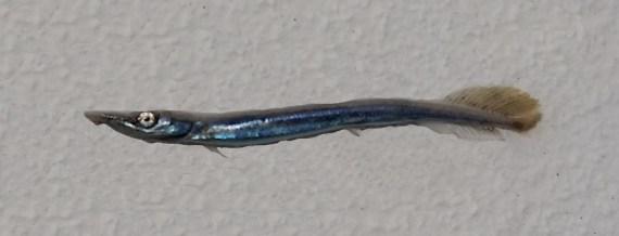 Needlefish Sp. (1)