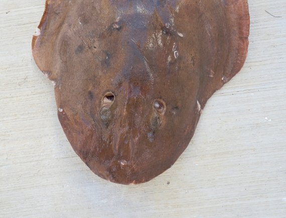 Giant Electric Ray (2)