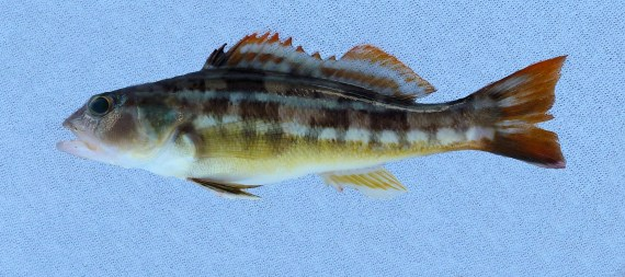 Greater Sand Perch (7)