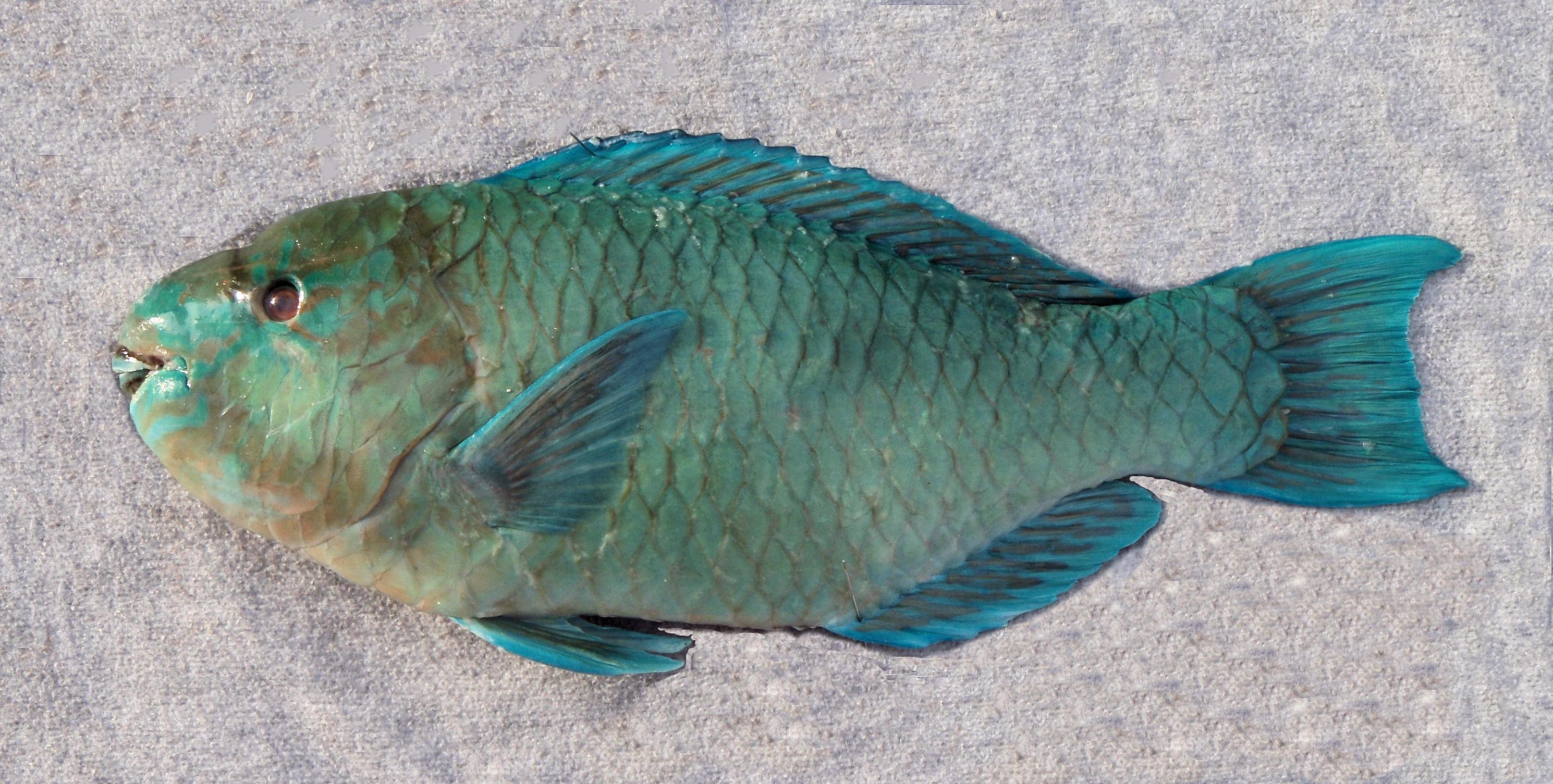Azure parrotfish mexico fish marine life birds and for Tp fish market