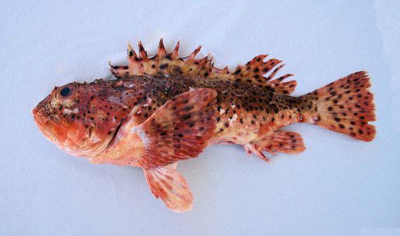 California Scorpionfish (1)