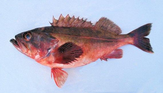 Mexican Rockfish (1)