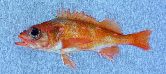 Swordspine Rockfish (1)