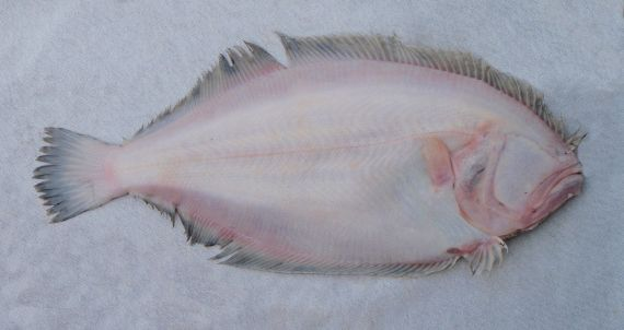 Toothed Flounder (3)