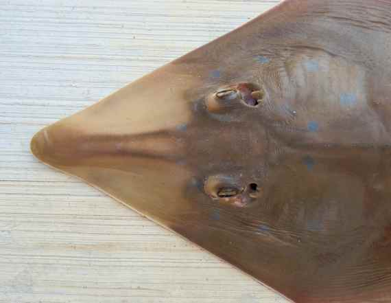 F396-Speckled Guitarfish (5)