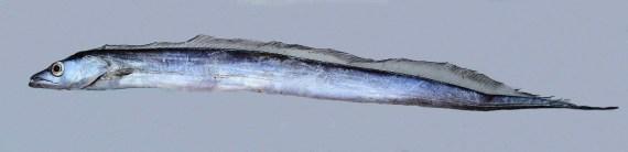 Pacific Cutlassfish (1)