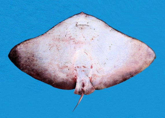 California Butterfly Ray (2)