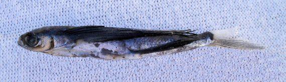 Blackwing Flyingfish (1)