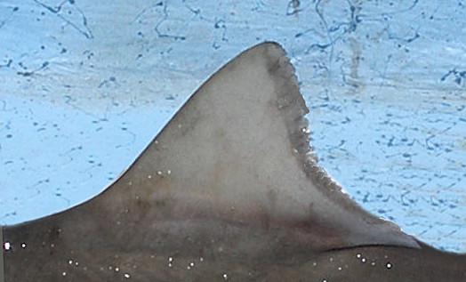 Brown Smoothhound Shark (3)