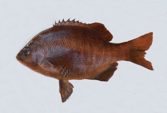 Black Perch (1)