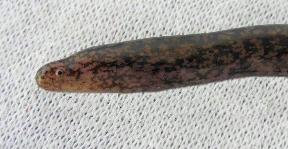 Largehead Moray (2)