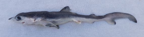 Pelagic Thresher Shark (2)