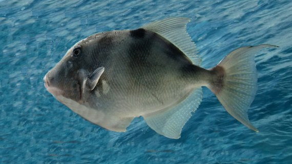 Gray triggerfish mexico fish marine life birds and for Brinkman s fishing report