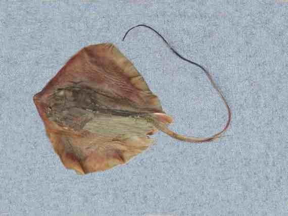 Longtail Stingray (1)