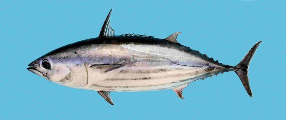 how to catch skipjack fish