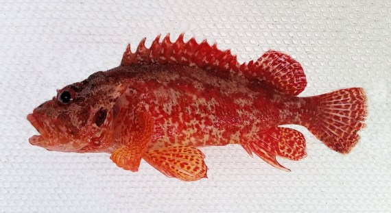 f673-rainbow-scorpionfish-1