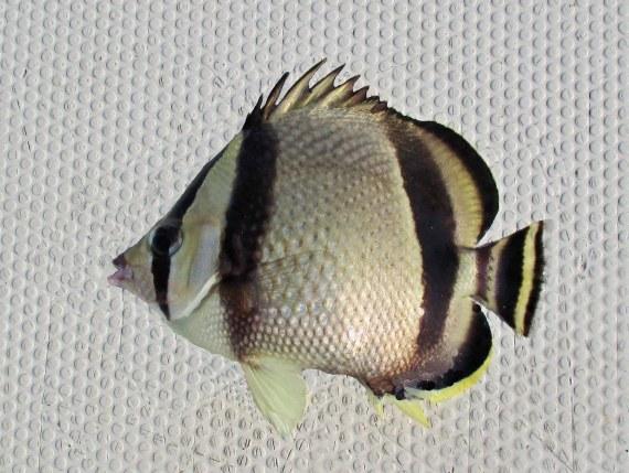 f686-threebanded-butterflyfish-3