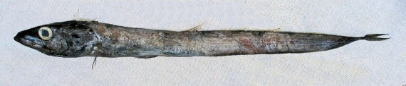 Snake Mackerel (1)