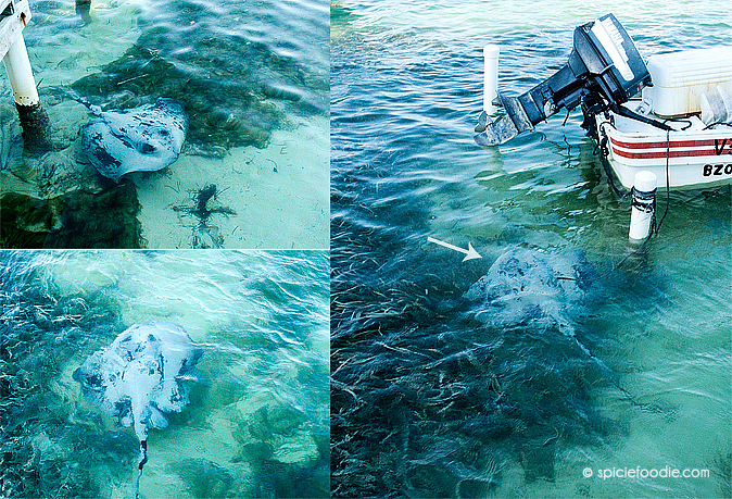 Sting Ray on San Pedro e | #AmbegrisCaye #Belize #travel