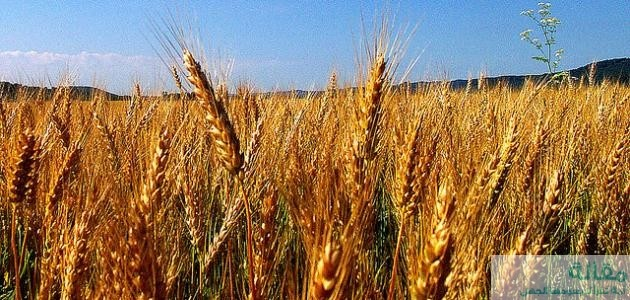 أهمية حبوب القمح