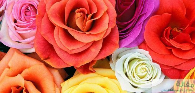 اجمل الورود في العالم