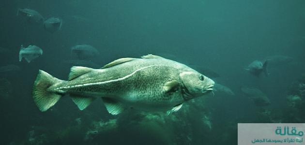 فوائد سمك القد