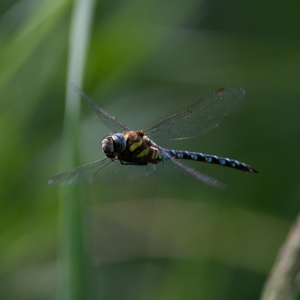 Migrant Hawker – Ranworth Broad