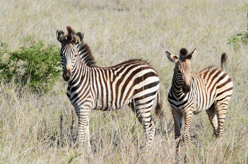zebra0