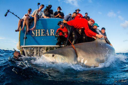 shark tagging miami