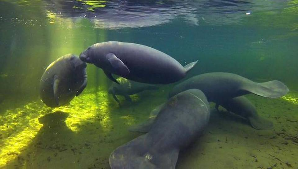 Manatees take refuge in the warmer waters of Blue Spring State Park in Orange City.