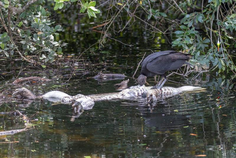 Everglades-Alligator-Gier-800px-20200218-5N6A5154