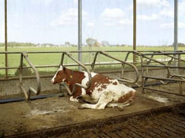 Brandsma Dairy Farm, Bolsward, May 2012