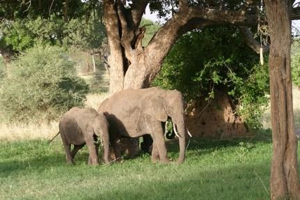 Der Afrikanische Elefant