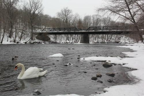 Swan on the Blackstone near the Albion Bridge