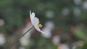 En anemone bevæger sig i vinden med smuk sløret baggrund
