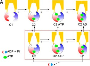 Proposed mechanism of CFTR gating from the PNAS paper cited below.  Ivacaftor is thought to stabilize the O2 form over the C2 form.